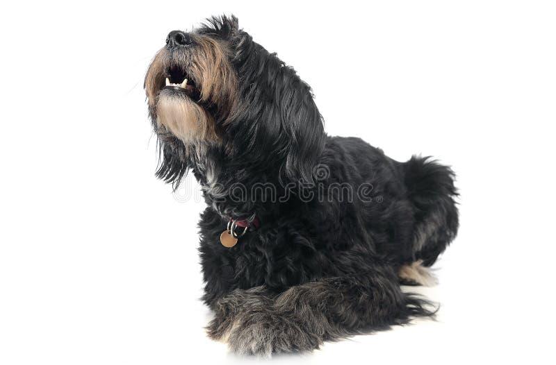 架线的头发在白色背景中mixedbreed狗 免版税库存图片
