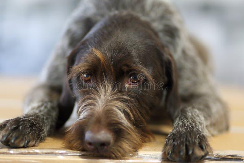架线的头发狗 免版税库存图片