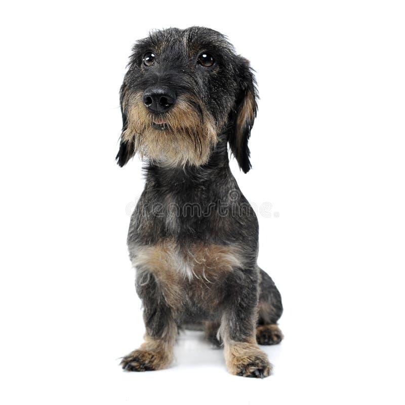 架线的头发达克斯猎犬在白色演播室坐 免版税库存图片