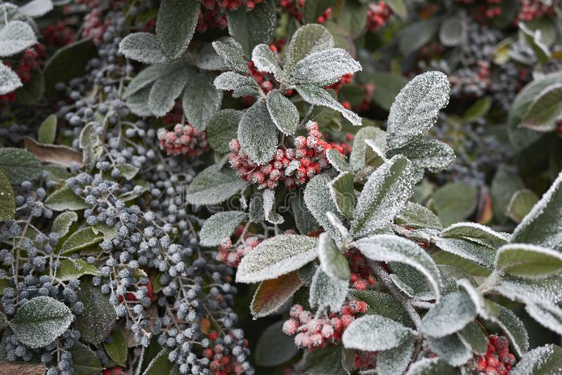 枸子属植物lacteus和女贞清楚灌木结霜的分支在冬天 库存照片