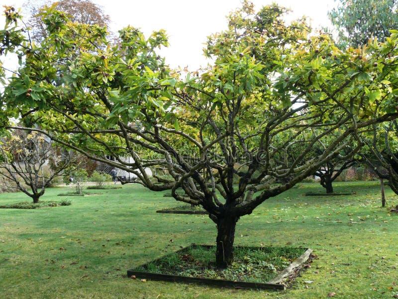 枸杞树在一个庭院里在图赖讷 库存照片