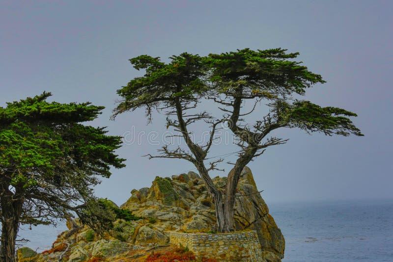 柏孤立结构树 免版税库存照片