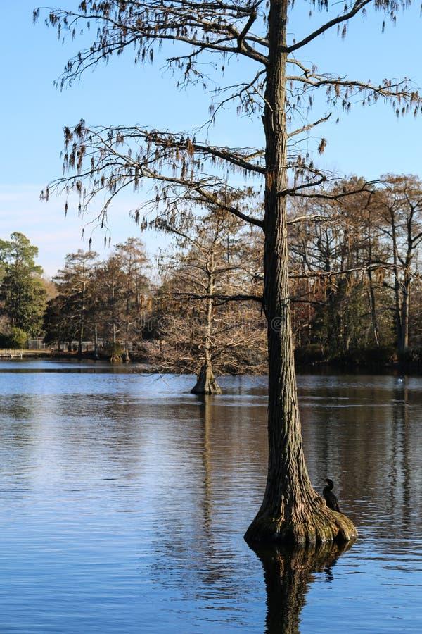 柏树在一个黑水湖 库存图片