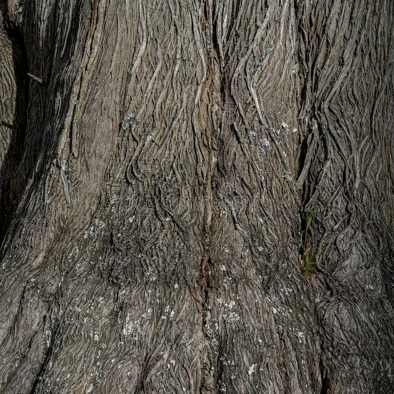 柏树的木纹理和背景 免版税库存照片