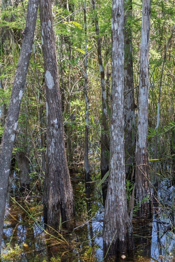 柏树,沼泽,大赛普里斯全国蜜饯,佛罗里达 库存照片