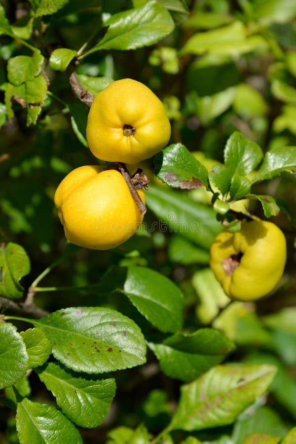 柑橘日本人& x28的成熟黄色果子; 木瓜属japonica & x28; T 图库摄影