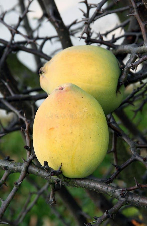 柑橘果子 免版税库存图片