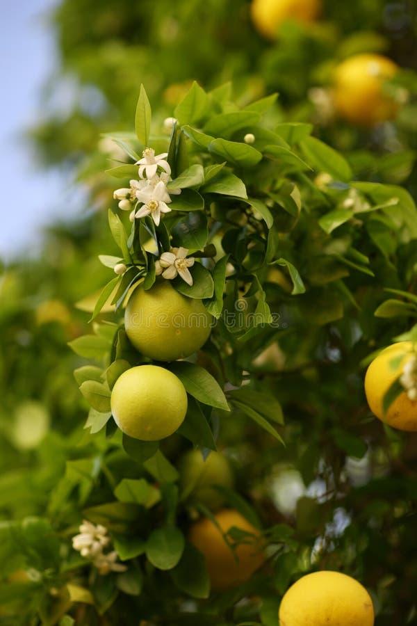 柑橘树 免版税库存照片