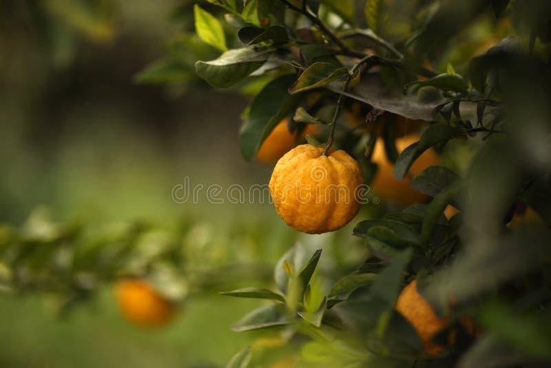 柑橘水果结构树 图库摄影