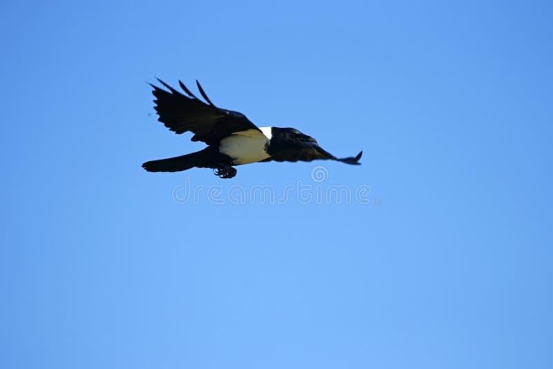 染色乌鸦的飞行 库存照片