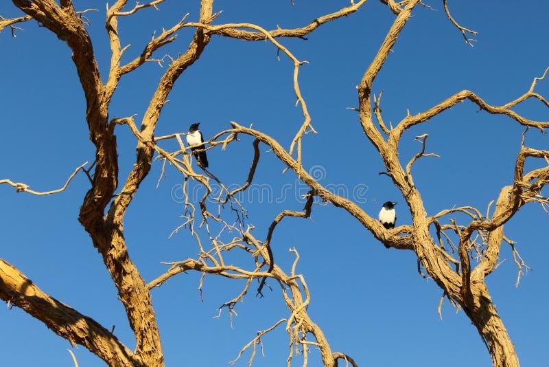 染色乌鸦,纳米比亚沙漠 免版税库存照片
