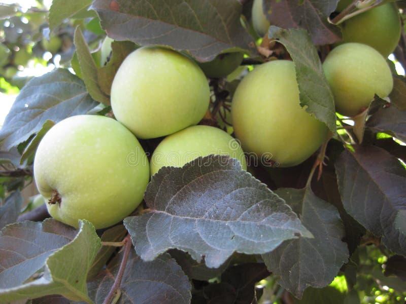 染色体结合苹果不是成熟的,并且在树的叶子中垂悬 图库摄影