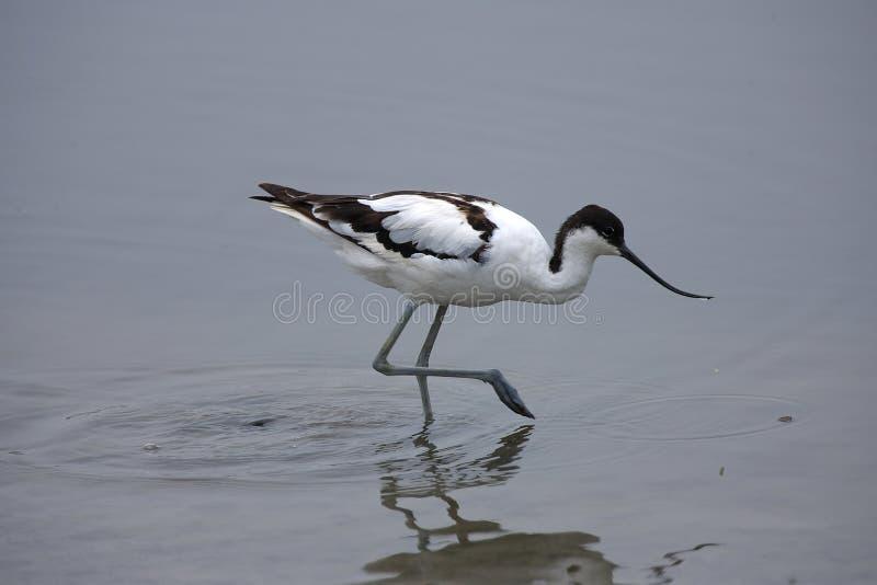 染色的长嘴上弯的长脚鸟 免版税库存图片