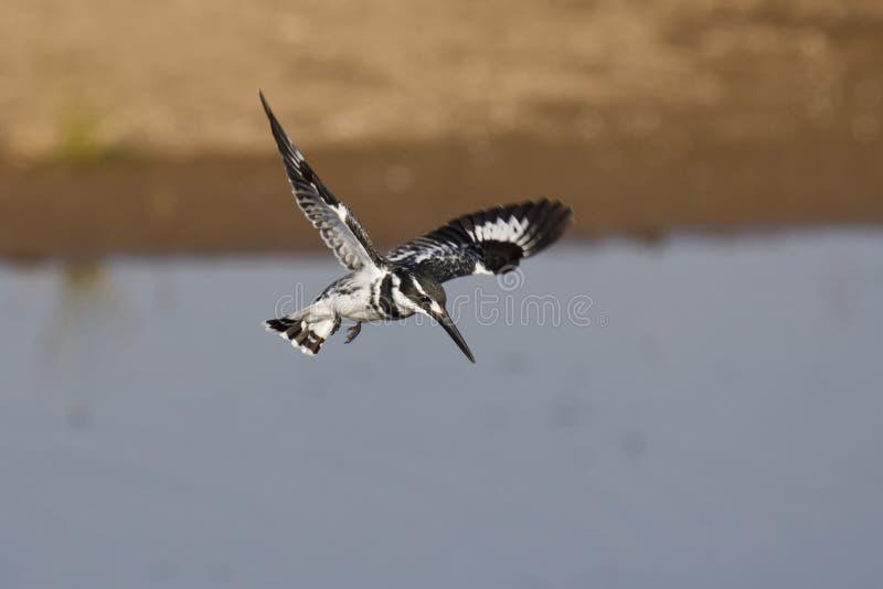 染色翠鸟狩猎 库存照片