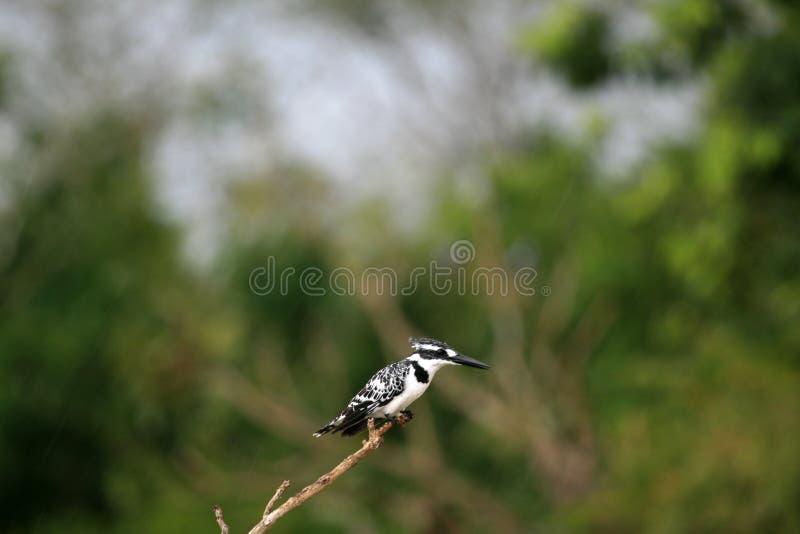 染色翠鸟,乌干达,非洲 库存照片