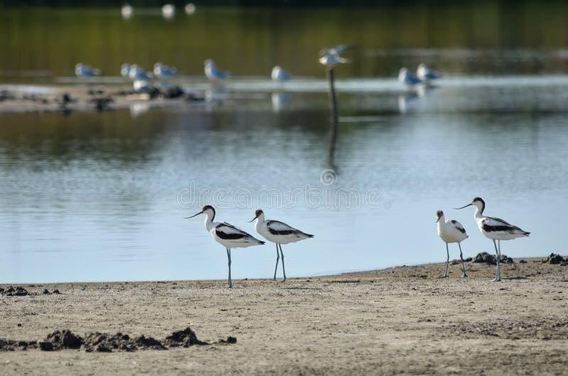 染色长嘴上弯的长脚鸟在它的自然生态环境 库存图片