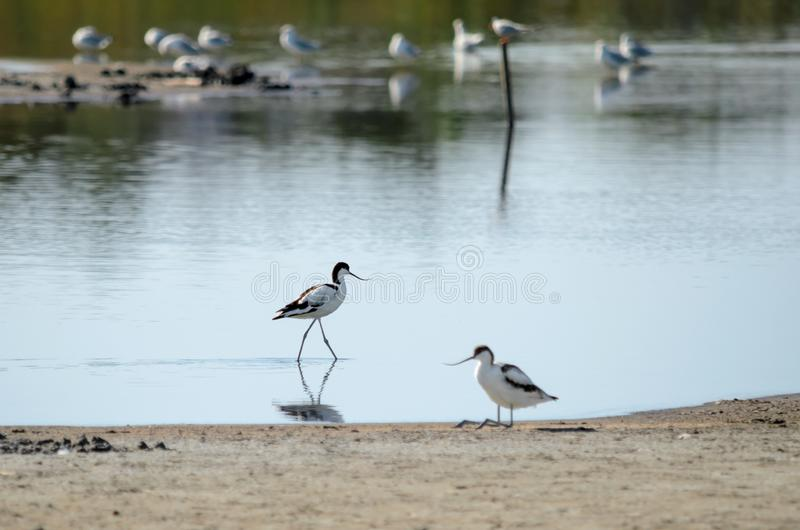 染色长嘴上弯的长脚鸟在它的自然生态环境 免版税图库摄影