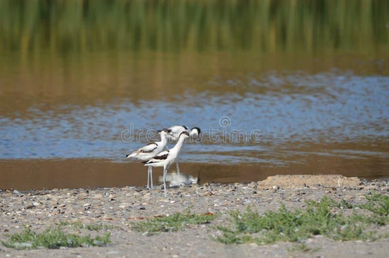 染色长嘴上弯的长脚鸟在它的自然生态环境 免版税库存图片