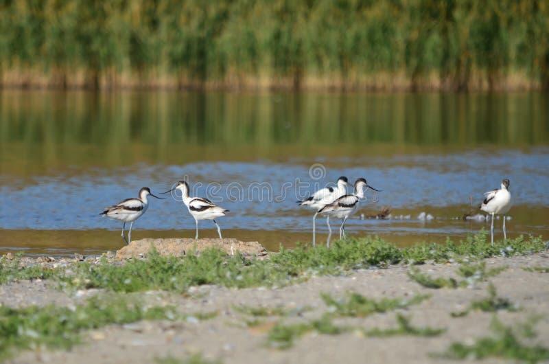 染色长嘴上弯的长脚鸟在它的自然生态环境 图库摄影