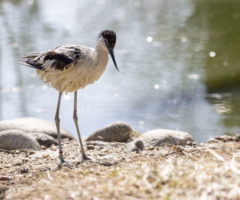染色长嘴上弯的长脚鸟清洗它的羽毛 免版税库存照片