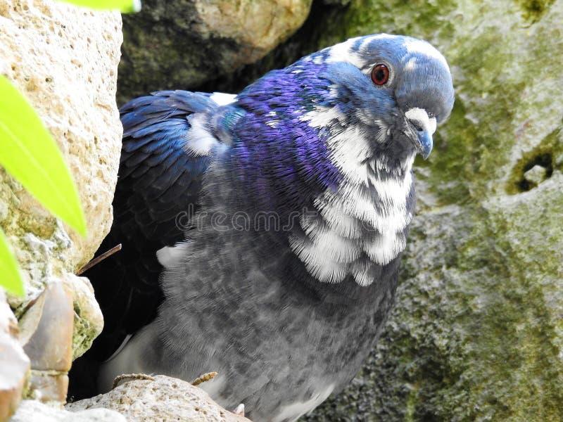 染色鸽子 库存照片