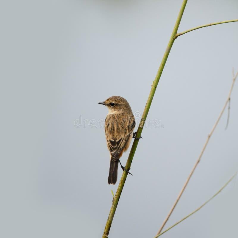 染色Bushchat,栖息在绿草的鸟 免版税库存图片