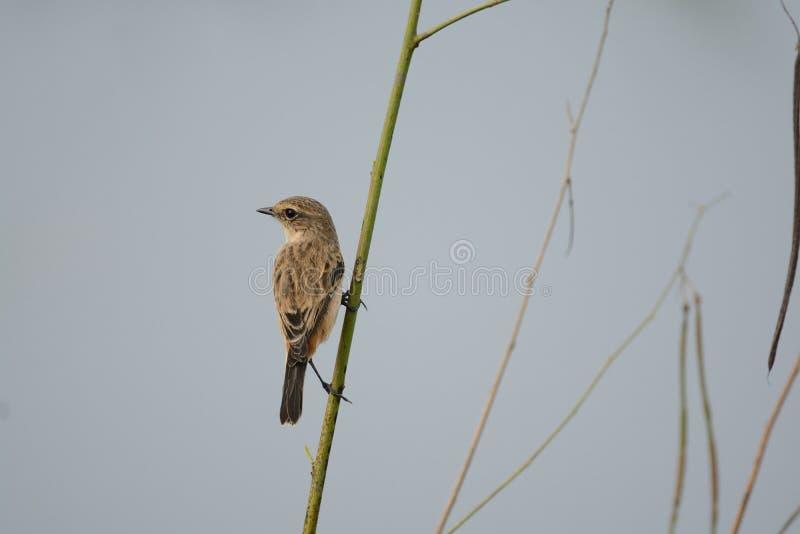 染色Bushchat,栖息在绿草的鸟 库存照片