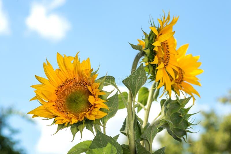 染黄三个向日葵和向日葵的一绿色芽在s的 库存照片