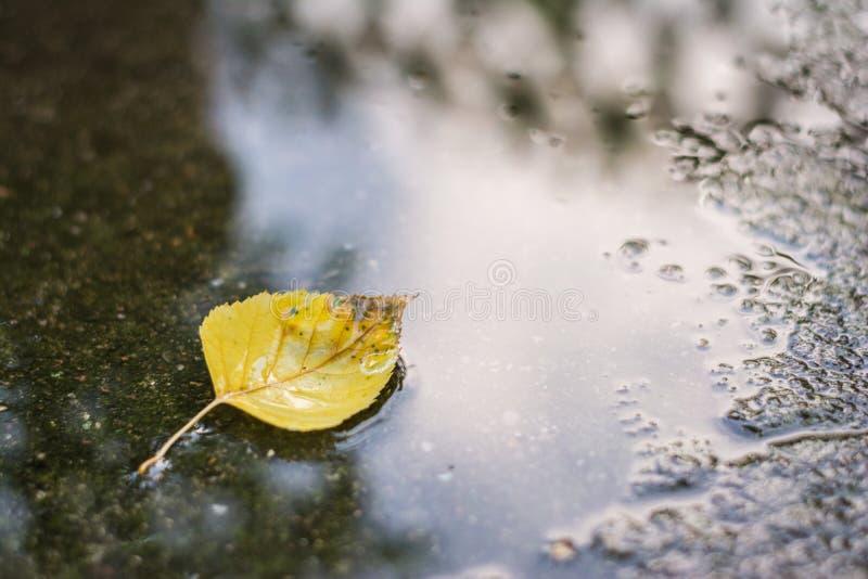 染黄桦树,桦属下落的叶子  免版税图库摄影