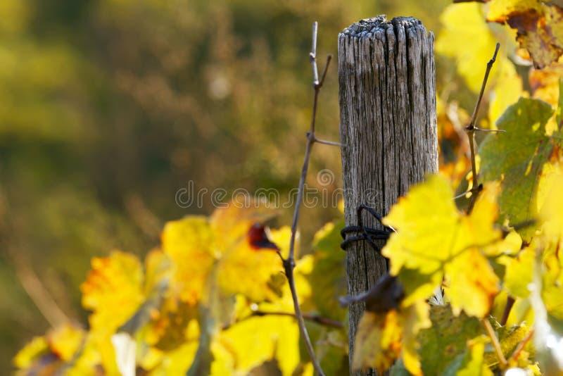 染黄的藤叶子本质上。 免版税库存照片