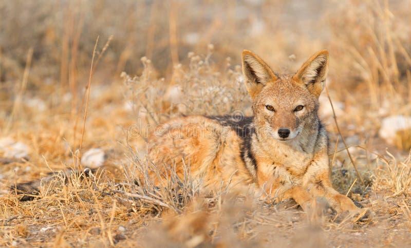 染黑在早晨太阳的支持的狐狼犬属mesomelas, Kalaha 免版税库存照片