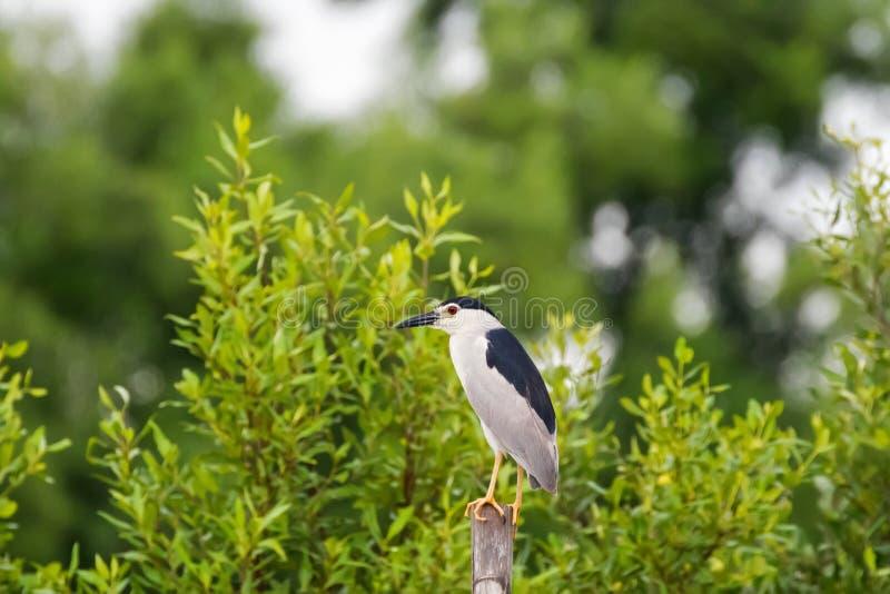 染黑在黑美洲狼鲈的被加冠的夜鹭属鸟在木st 免版税库存图片