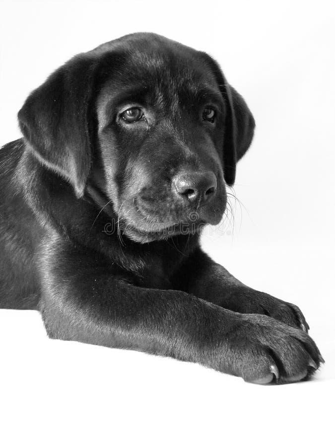 染黑小狗 库存照片