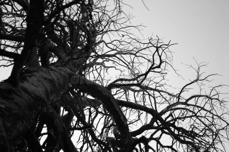 染黑巨型纯然的结构树白色 免版税库存图片