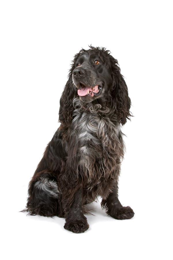 染黑斗鸡家狗灰色西班牙猎狗 免版税库存图片
