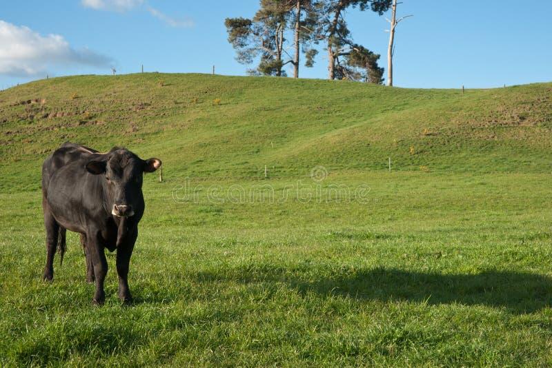 染黑母牛孤立小牧场 库存照片