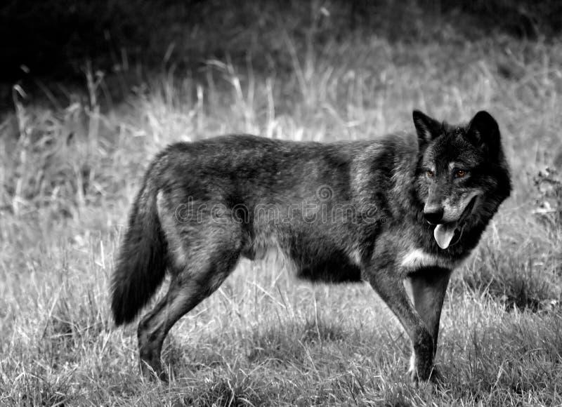 染黑狼 免版税库存图片
