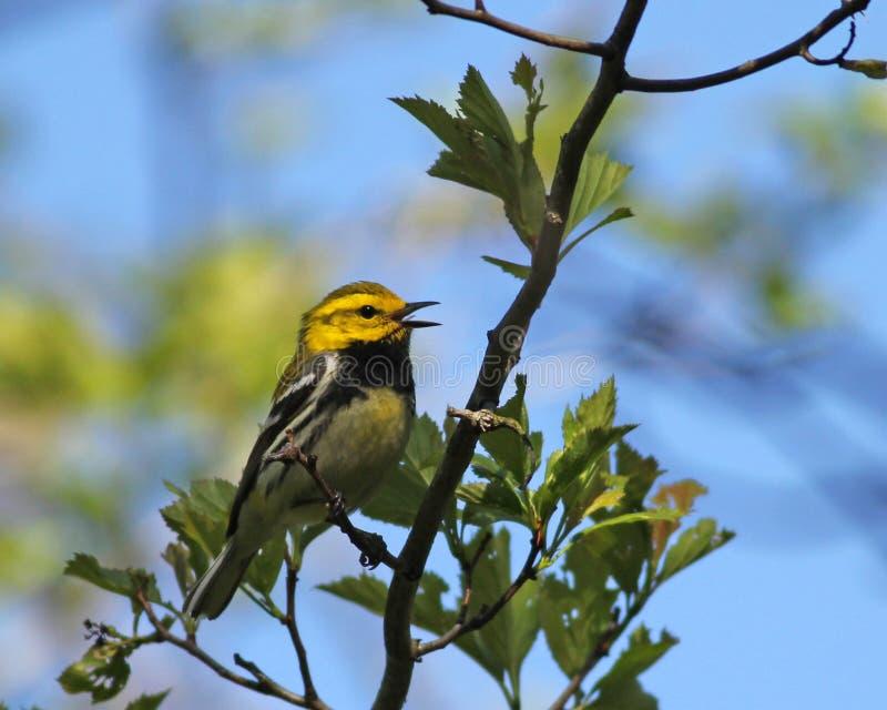 染黑绿色唱歌红喉刺莺的鸣鸟 库存图片
