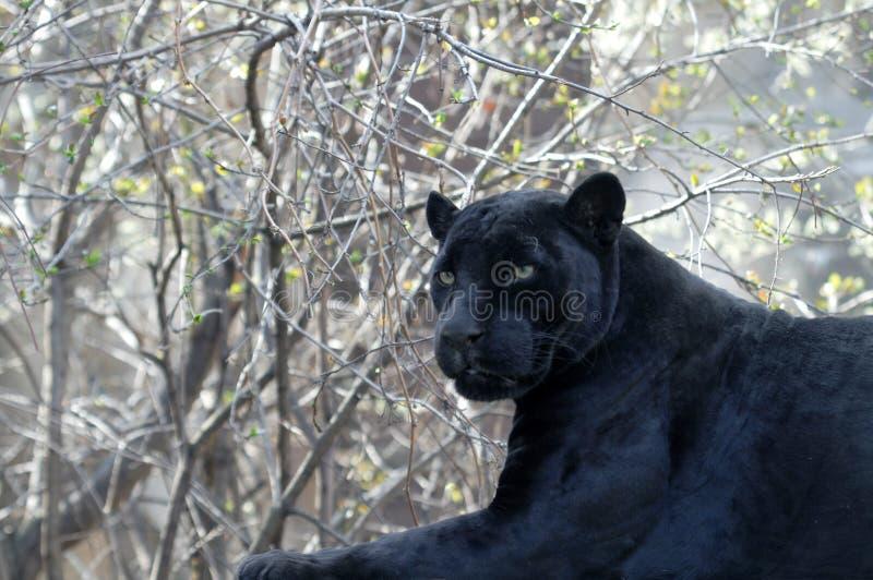 染黑豹子 库存照片