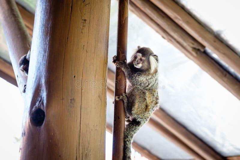 染黑tuffeted小猿,一只共同的小猴子,攀登在房子里面的木杆 里约热内卢,巴西 库存图片