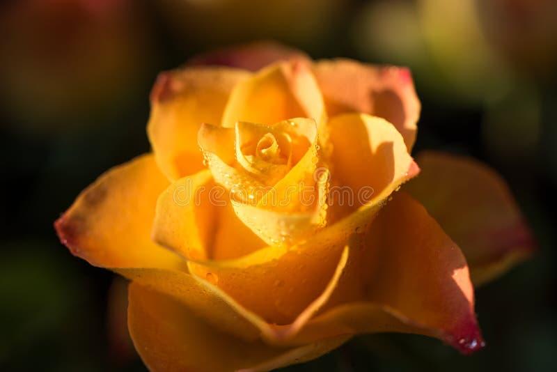 染黄与与露水,关闭的桔子玫瑰色花 免版税库存图片