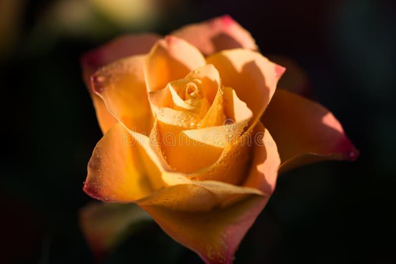 染黄与与露水,关闭的桔子玫瑰色花 库存图片