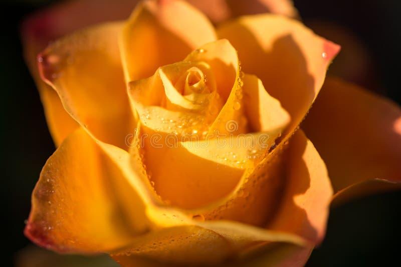 染黄与与露水,关闭的桔子玫瑰色花 库存照片