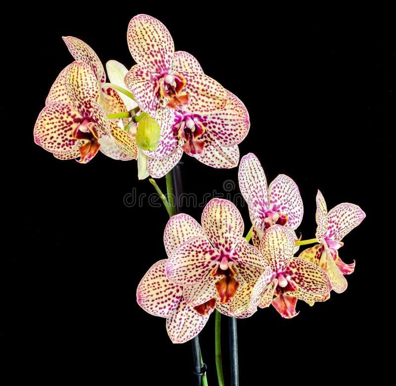 染黄与紫色斑点分支兰花花,兰科,叫作蝴蝶兰的兰花植物 免版税图库摄影