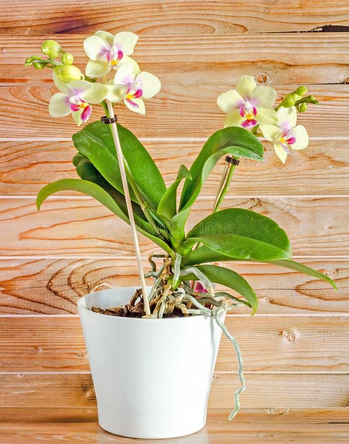 染黄与紫色雌蕊分支兰花花,兰科,叫作蝴蝶兰的兰花植物 库存照片