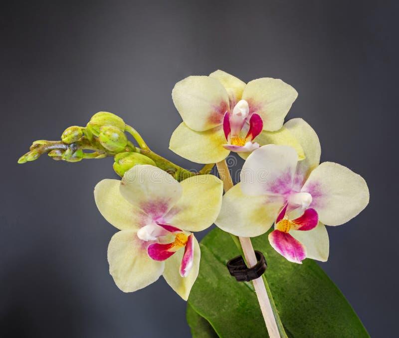 染黄与紫色雌蕊分支兰花花,兰科,叫作蝴蝶兰的兰花植物 免版税图库摄影