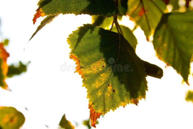 染黄的叶子 免版税图库摄影