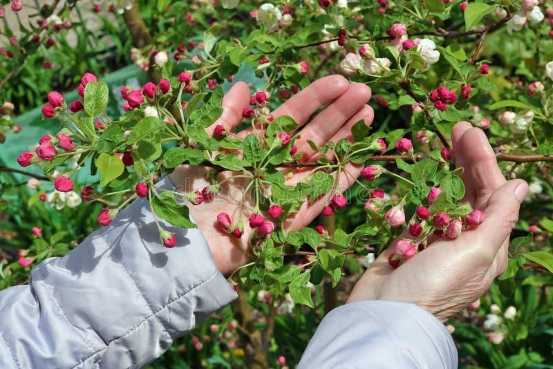 柔和一名年长妇女在手中拿着苹果树第一朵春天桃红色花  免版税库存图片