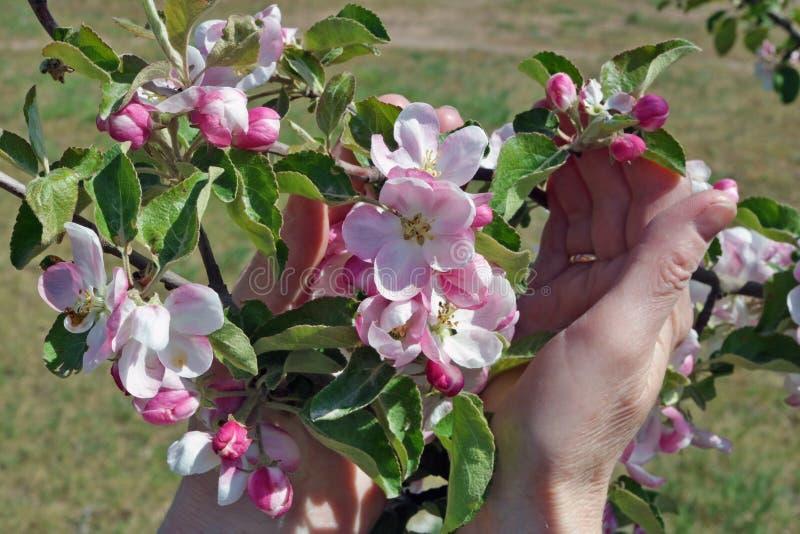 柔和一名年长妇女在手中拿着苹果树第一朵春天桃红色花  库存照片