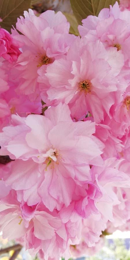 柔和的春天背景 开花的杏仁 桃红色花美丽的群 免版税库存图片